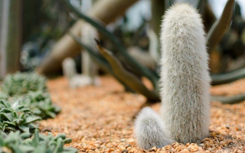 dick pic, hairy cactus, cactus, plant, desert, penis