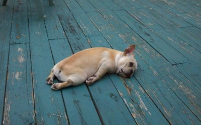 dog, bulldog, tired, sad, collapsed on floor, exhausted, depressed