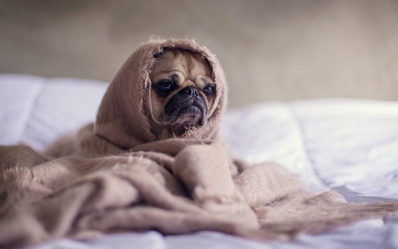 dog, pug, swaddling, blanket, snug, wrapped, swaddling, japan, trend, comfortable, soothing