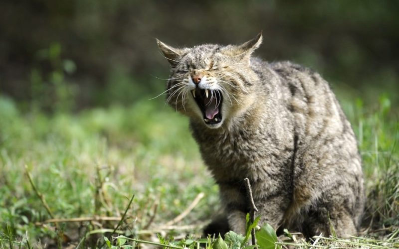 cat screaming, scrunched up face, wincing, vaginal reconstruction, surgery