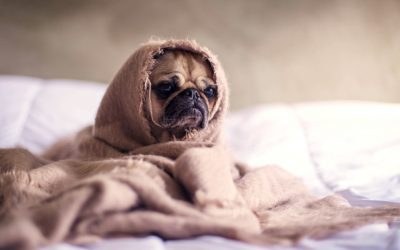 solitary sunday, dog, alone, bed, cosy, wrapped in blanket