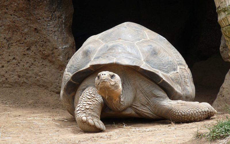 giant tortoise, turtle, old people, oap