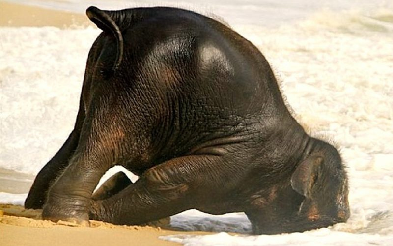 elephant, head buried in sand, hungover, drunk, tired, collapsed