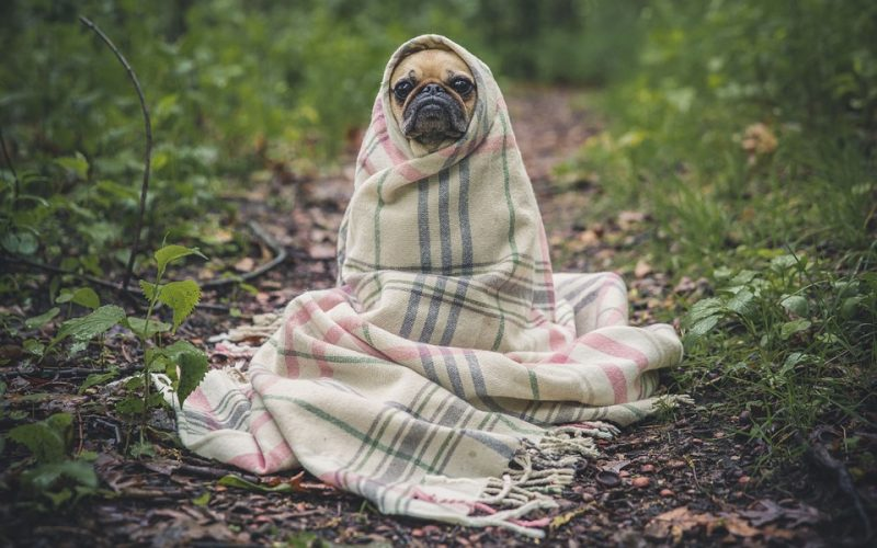 pug, dog, blanket, wrapped up, forest, path, lonely, shabby