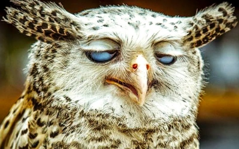 owl, tired, falling asleep, nocturnal, insomnia, wake therapy, no sleep, don't sleep