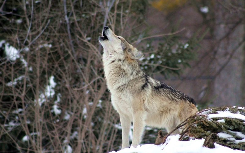 lone wolf, dog, howling, frustrated, honest
