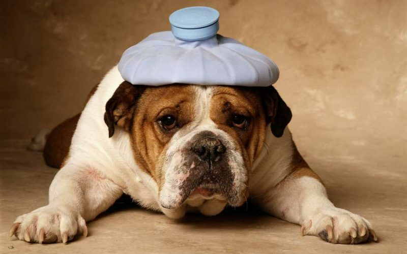 dog, bulldog, ill, sick, unwell, ice pack, germs