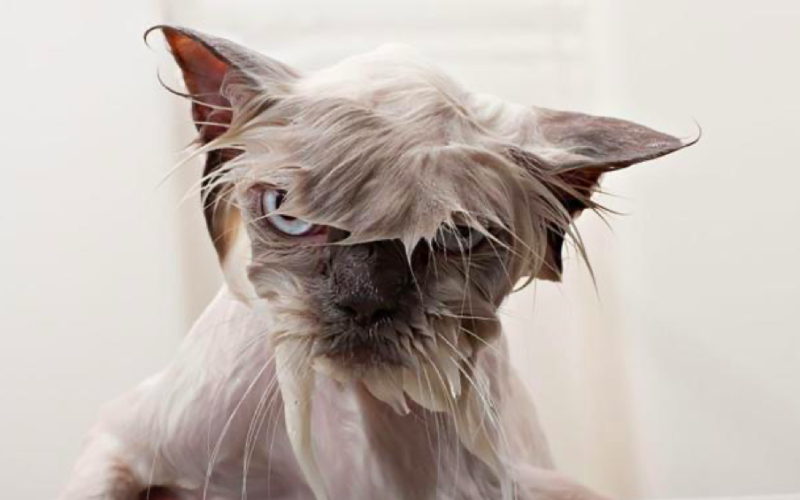 wet cat, drenched, soaked, unhappy, unimpressed, funny animals, cat